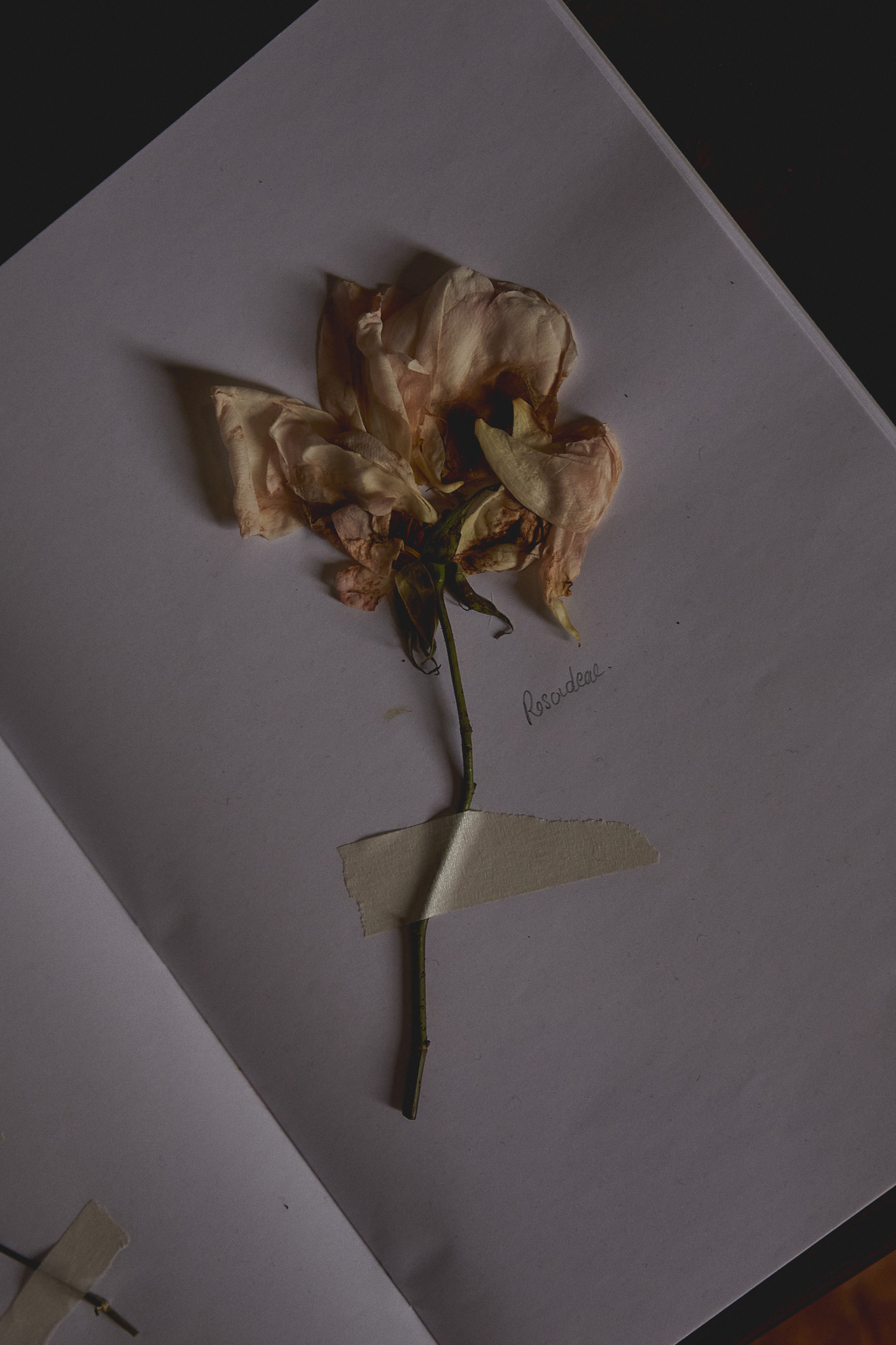 pressed rose flower by Ivana Martyn-zyznikow